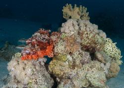 BD-090407-Fury-Shoal-4072983-Scorpaenopsis-oxycephala-(Bleeker.-1849)-[Caledonian-devilfish].jpg